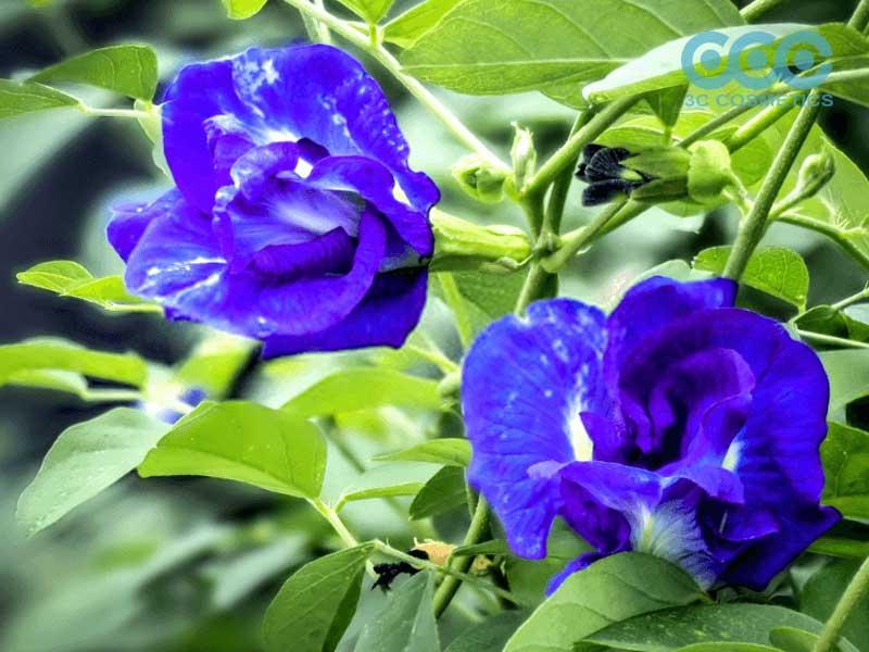 Thông tin chi tiết về hoa đậu biếc